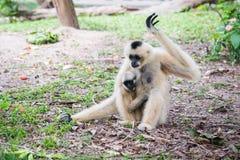 Weiß- Cheeked Gibbon und ihr Sohn Stockfotografie