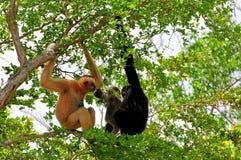 Weiß--cheeked Gibbonfamilie im Zoo Lizenzfreie Stockfotos