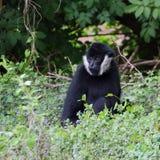 Weiß--cheeked Gibbonporträt Stockfotografie