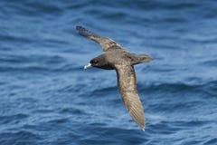 Weiß chinned Sturmvogel gegen ein unscharfes blaues Meer Lizenzfreies Stockfoto