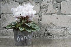 Weiß cyclamen in einem Blumenpotentiometer Stockbilder