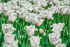 Weiß eingesäumte Tulpen Lizenzfreies Stockfoto