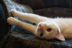 Weiße Katze schärft Greifer auf dem Sofa Stockbild