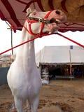 Weiß erschrockenes Pferd Stockfoto