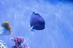 Weiß-Flosse Surgeonfish Acanthurus albipectoralis Lizenzfreie Stockfotografie