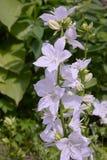 Weiß-geblühte Glocken Alba Campanula in der Blüte draußen stockfoto