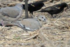 Weiß-geflügelte Taube Lizenzfreies Stockfoto