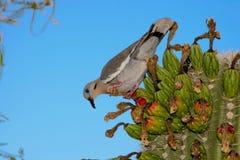 Weiß-geflügelte Taube auf Kaktus Lizenzfreies Stockbild