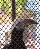 Weiß-gekrönter Hornbill Stockbild