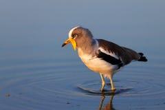 Weiß-gekrönter Kiebitz im Wasser Stockfotos