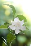 Weiß geläufiger Gardenia oder Umhangjasminblume Stockfoto