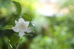 Weiß geläufiger Gardenia oder Umhangjasminblume Stockbilder