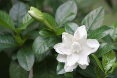 Weiß geläufiger Gardenia oder Umhangjasminblume Lizenzfreie Stockfotos