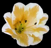 Weiß-gelbe Blumenlilie auf dem Schwarzen lokalisierte Hintergrund mit Beschneidungspfad keine Schatten nahaufnahme Lizenzfreie Stockfotografie