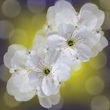 Weiß-gelbes Blumenhintergrund bokeh Weiße große Blumen Kirsche Blumencollage Tulpen und Winde auf einem weißen Hintergrund Lizenzfreies Stockbild