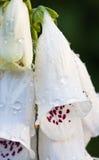 Weiß-gemeine Fingerhut Stockfotos