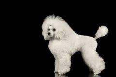 Weiß gepflegte Pudel-Hundestellung lokalisiert auf schwarzem Hintergrund lizenzfreies stockbild