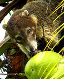Weiß-gerochener Coati Stockfotos