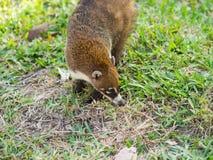 Weiß-gerochener Coati im wilden, Yucatan, Mexiko Lizenzfreie Stockfotos