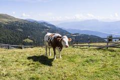 Weiß, gescheckte Kuh des Brauns auf einer österreichischen Alpe in der Sommerzeit Lizenzfreies Stockbild