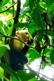 Weiß-gesichtiger Affe, der Insekt in Manuel Antonio National Park, Costa Rica isst Lizenzfreie Stockfotos