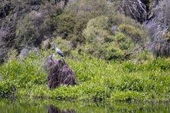 Weiß-gesichtiger Reiher auf Lagunenreserve, Busselton, WA, Australien stockfoto