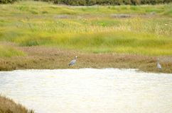 Weiß-gesichtiger Reiher im wilden stockfotografie