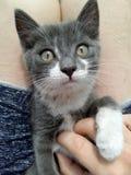 Weiß-graues Kätzchen Lizenzfreie Stockbilder