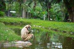 Weiß-Hand Gibbon, der auf einem Felsen im Vogelhaus sitzt und isst Lizenzfreies Stockfoto