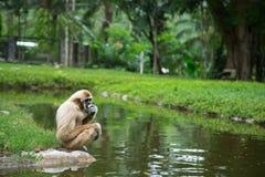 Weiß-Hand Gibbon, der auf einem Felsen im Vogelhaus sitzt und isst Lizenzfreie Stockfotos