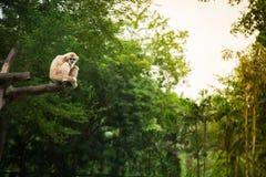 Weiß-Hand Gibbon, der in einem Baum im Hintergrunddschungel sitzt Stockfoto