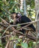 Weiß-köpfige Affemutter und -baby Lizenzfreies Stockfoto
