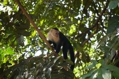 Weiß-köpfiger Affe im Baum Stockfotografie