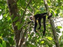 Weiß-köpfiger Affe mit einer Frucht in Corcovado Lizenzfreies Stockfoto