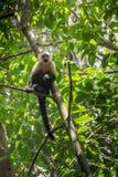 Weiß-köpfiger Affe mit einer Frucht in Corcovado Lizenzfreie Stockfotografie
