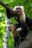 Weiß-köpfiger Capuchin - Cebus-capucinus lizenzfreies stockfoto
