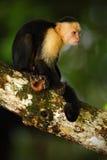 Weiß-köpfiger Capuchin, Cebus-capucinus, schwarzer Affe, der auf dem Baumast im dunklen tropischen Wald, Tier in der Natur ha sit Lizenzfreies Stockfoto