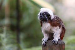 Weiß-köpfiger Capuchin, schwarzer Affe Lizenzfreie Stockfotografie
