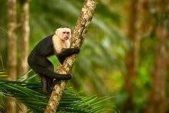 Weiß-köpfiger Capuchin, schwarzer Affe, der auf Baumast im Th sitzt Stockbilder