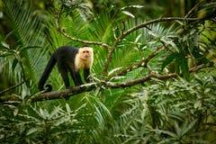 Weiß-köpfiger Capuchin, schwarzer Affe, der auf Baumast im Th sitzt Lizenzfreie Stockbilder