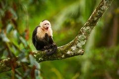 Weiß-köpfiger Capuchin, schwarzer Affe, der auf Baumast im Th sitzt Stockfotografie