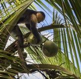 Weiß-köpfiger Capuchins Cebus-Nachahmer stockfoto