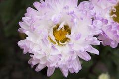 Weiß- lila Chrysantheme Stockbild