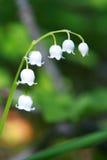 Weiß lilly stockbild