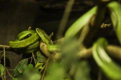 Weiß-lippige Grubenviper, ist Spezies einer die giftigen Grubenviper, die zu Südostasien endemisch sind Farbmuster: grün oben, Se lizenzfreie stockfotografie
