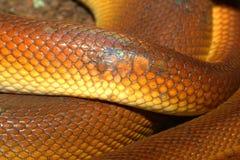 Weiß-lippige Pythonschlange (Leiopython-albertisii) stockfoto