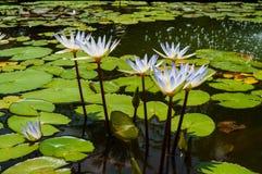 Weiß mit blaues Wasser lillies Lizenzfreie Stockbilder