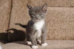Weiß mit der grauen Katze, die mutig anstarrt Lizenzfreie Stockbilder