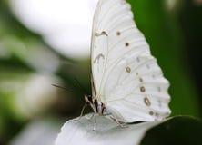 Weiß mit Dunkelheit zeigt den Schmetterling, der auf dem grünen Blatt sitzt Stockbilder
