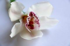 Weiß mit Purpur adert Orchideenblume Stockfoto